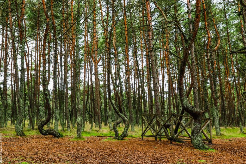 Танцующий лес, Куршская коса
