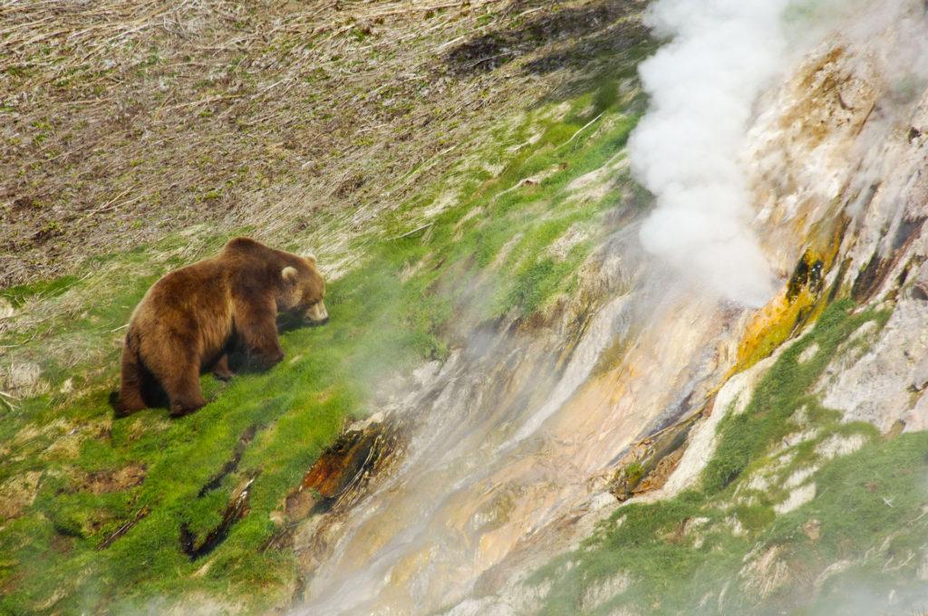Медведь в Долине гейзеров, Камчатка