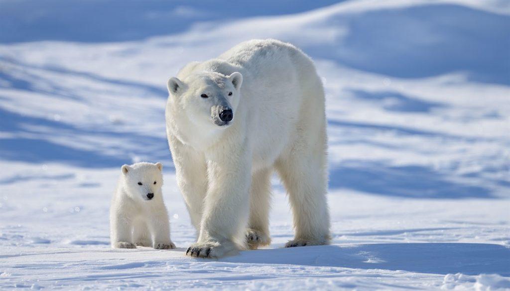 Белый медведь, остров Врангеля