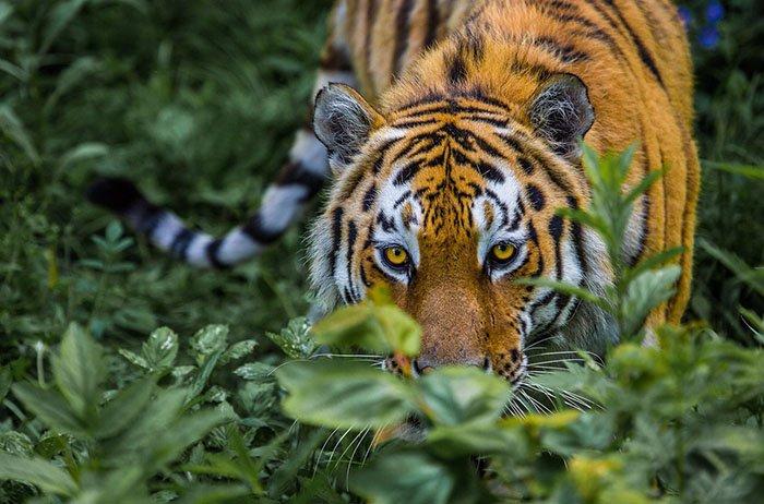 Амурский тигр, Сихотэ-Алинский природный заповедник, Приморский край