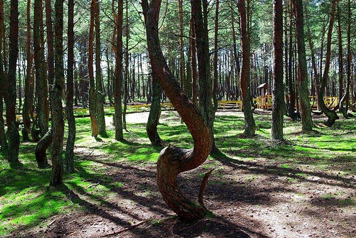 Танцующий лес, Куршская коса, Калининградская область