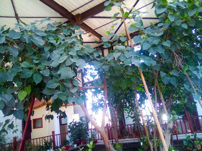 Священное дерево Ботхи, Иволгинский дацан, республика Бурятия