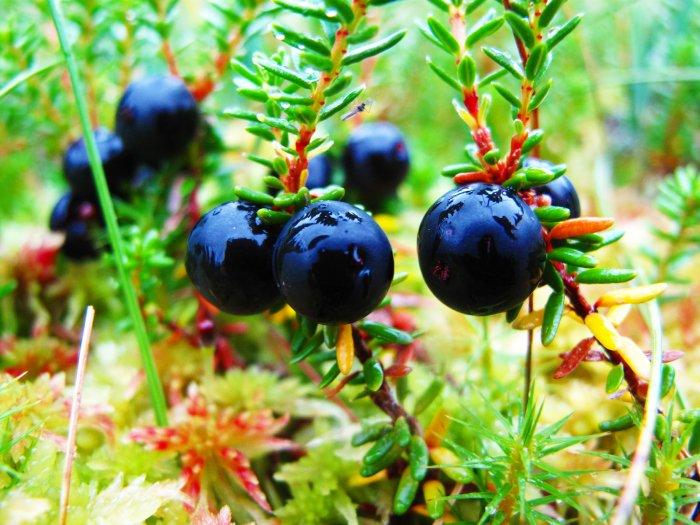 Водяника, растительность Усинских болот, республика Коми