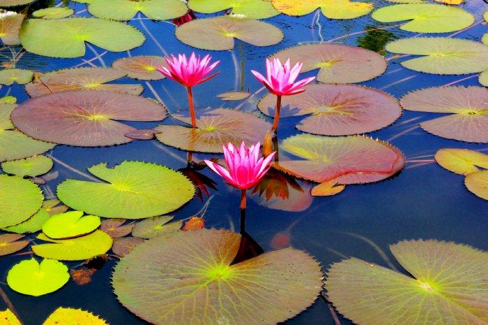 Цветение лотоса на озере