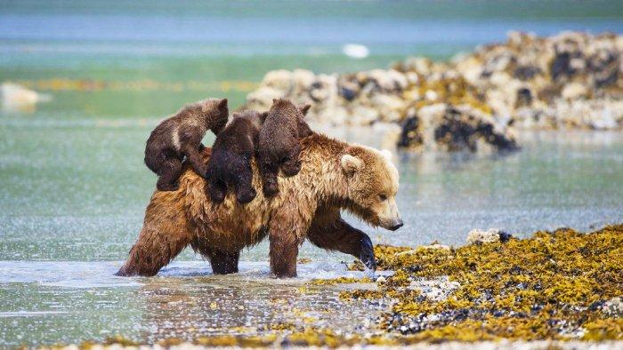 Медведи на Онежском озере. Фото с сайта - i.pinimg.com