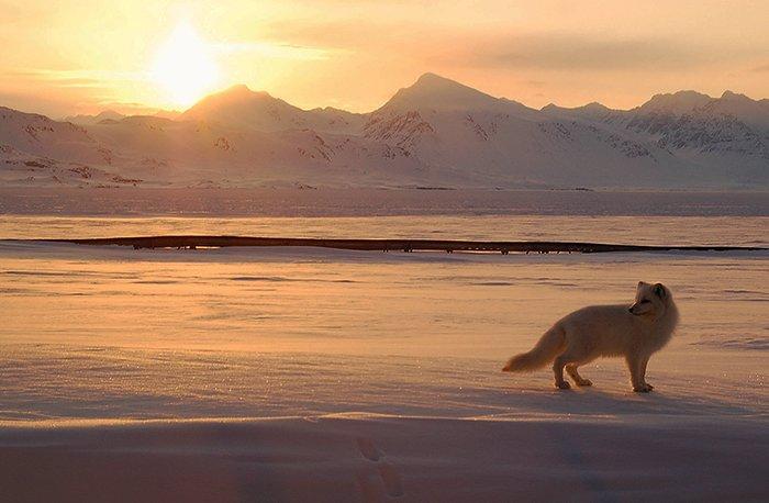 Животный мир Большого арктического заповедника