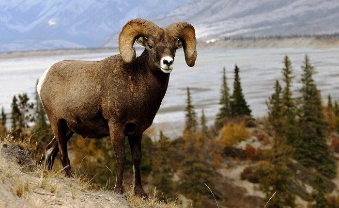 Животный мир Алтайского заповедника