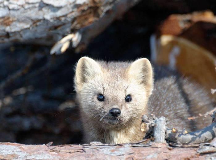 Животный мир Баргузинского заповедника