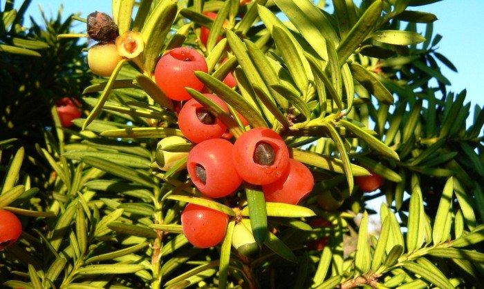 Лазовский заповедник, плоды тиса
