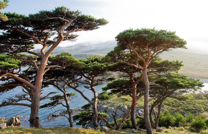 Хвойные деревья Дальневосточного морского заповедника